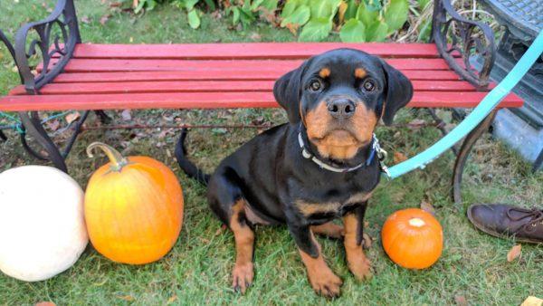 Dog Eating Carrot - Rottweiler